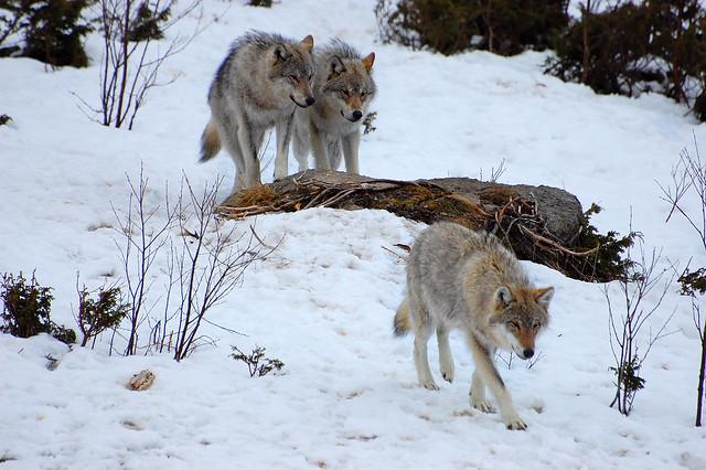 Wolves, Langedrag, Norway