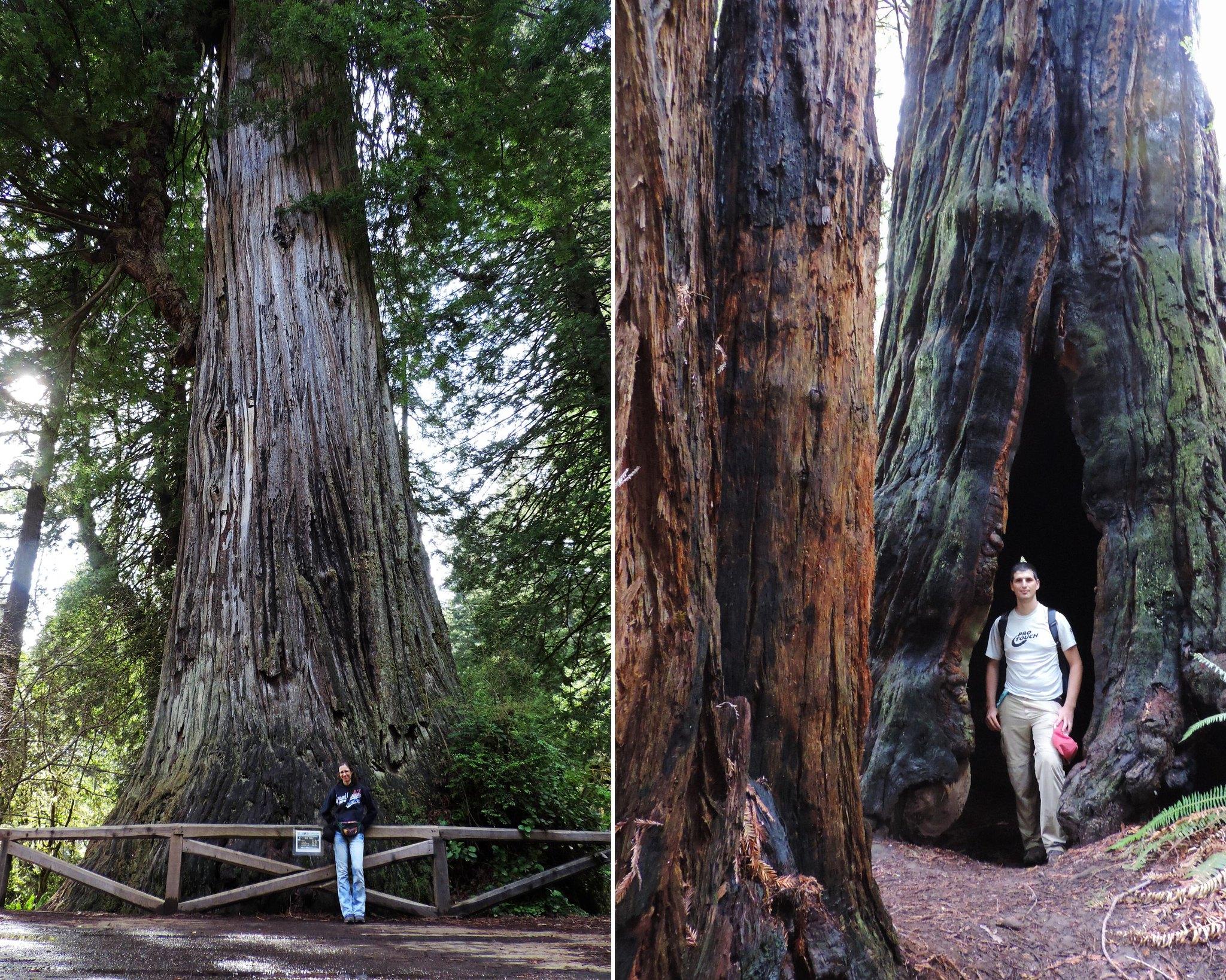 The Big Tree Loop, Prairie Creek Redwoods State Park