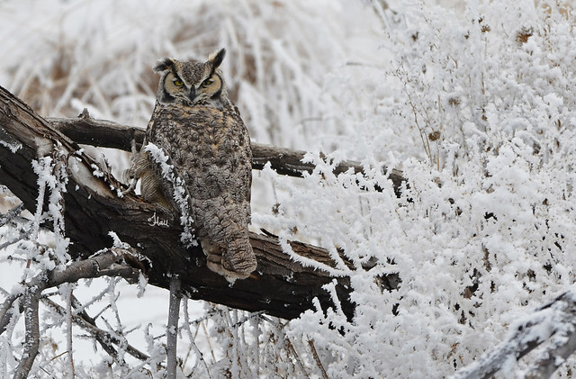 Great-horned Owl on a Frozen Morning - 8115b