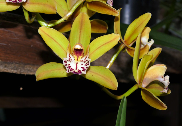 Cymbidium Unknown [FM #8] hybrid orchid