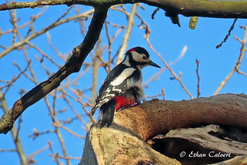 Greater Spotted Woodpecker | by Ethan Calvert