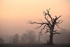 Oak in Rogalin