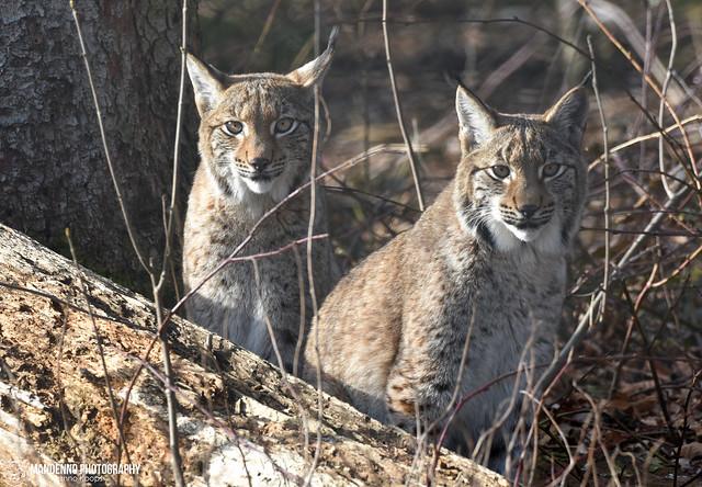 Two eurasian lynxes - Wildpark Anholter Schweiz