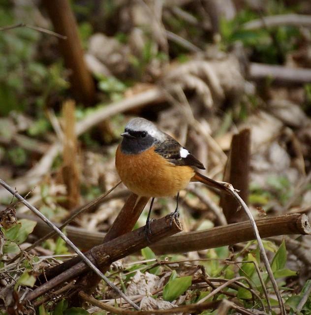 ジョウビタキ-2 Phoenicurus auroreus-2 冬ごもり(巣籠もり) Stay in Winter(Stay in the Winter nest)-92