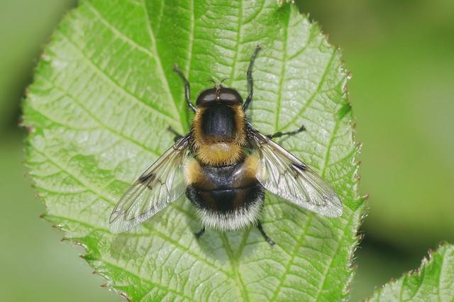 Bumblebee  Hoverfly - Volucella bombylans