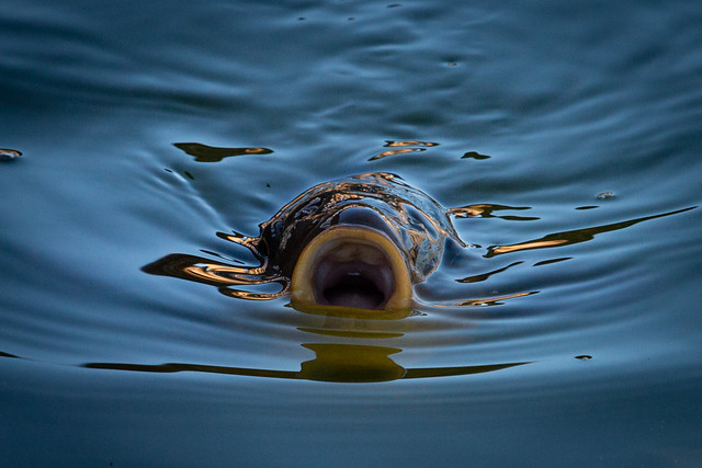 A Koi Carp with a big mouth!