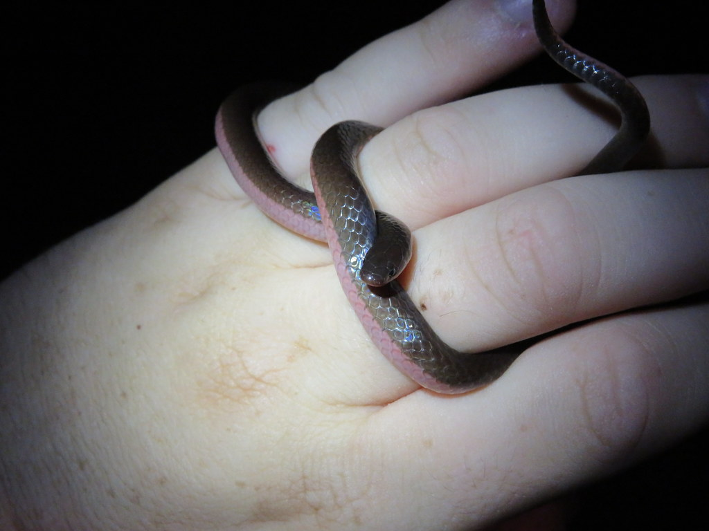 Wormsnake in Hand (east)