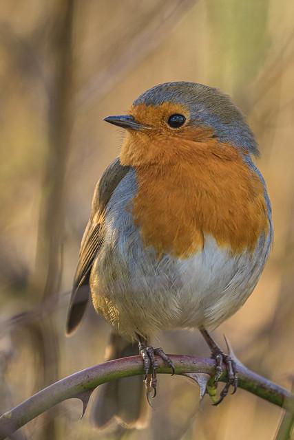 Robin-4833.jpg