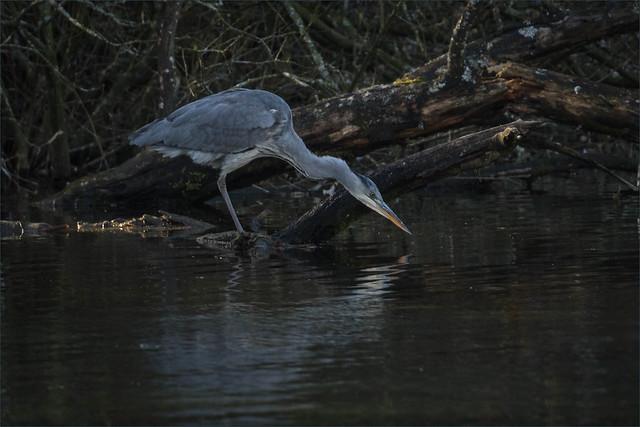 Grey Heron-4701-Edit.jpg