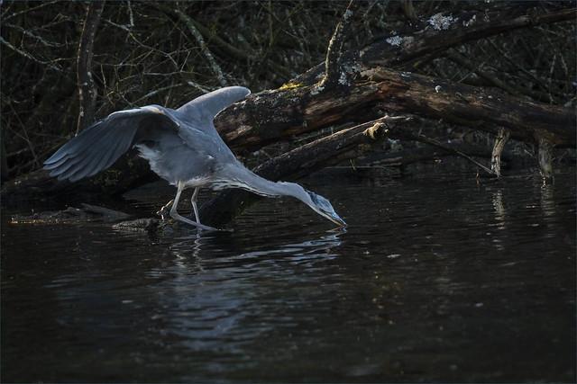 Grey Heron Fishing-4742-Edit.jpg