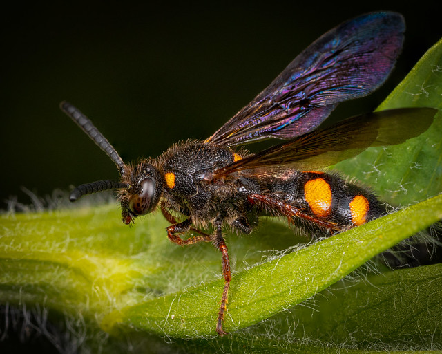 Scolidae Wasp-2