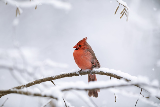 A male cardinal with a mutation