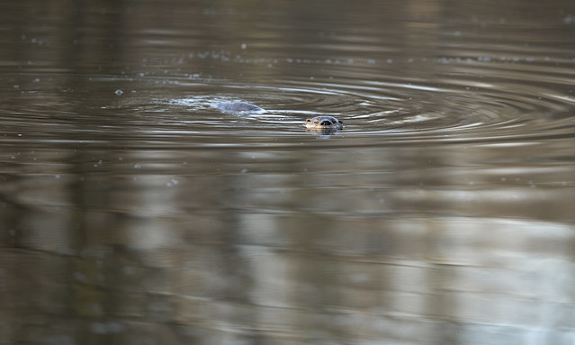 A North American River Otter (Lontra canadensis) swimming