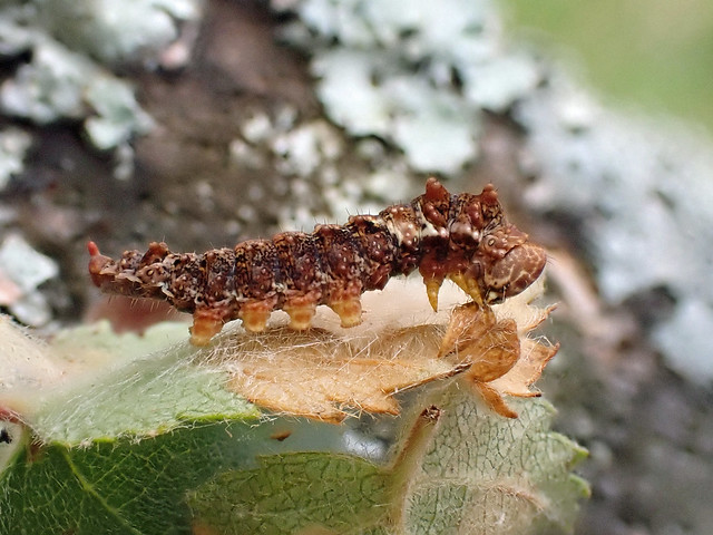 65.001 Scalloped Hook-tip (Falcaria lacertinaria), Trinafour, Perthshire