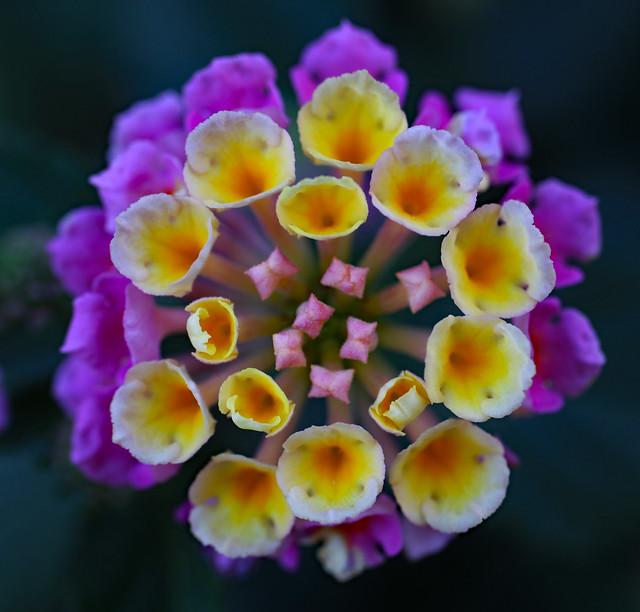 Lantana Bloom (3356)