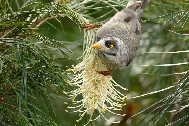 Noisy Miner(Manorina melanocephala)Sydney Australia