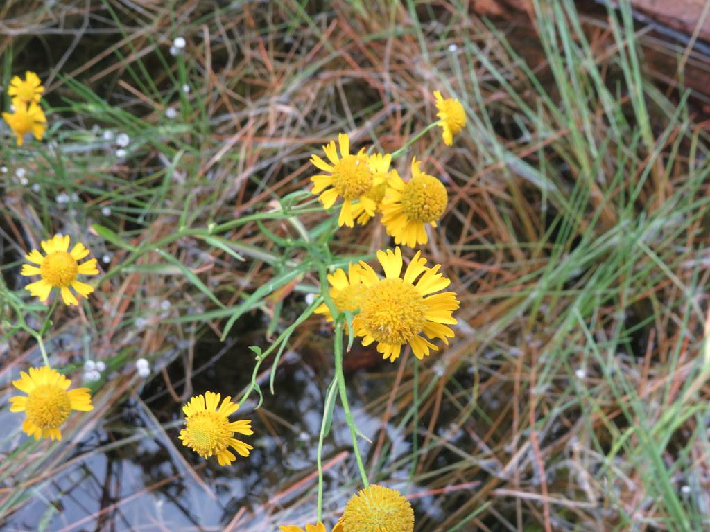 Helenium montanum close