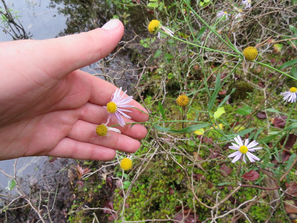 Boltonia montana