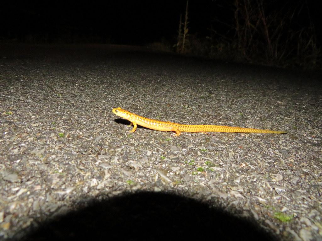 Long-tailed Salamander on road