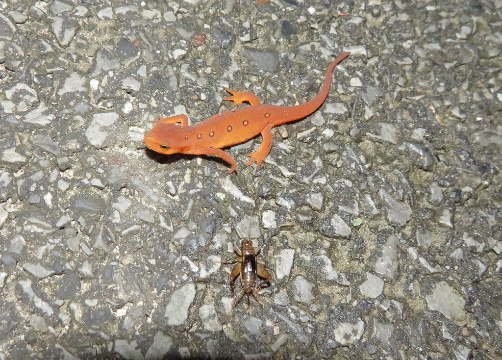 Red Spotted Newt/Cricket