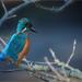 Male Kingfisher.