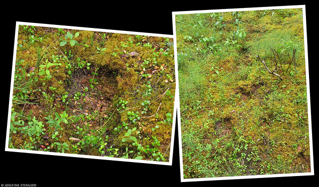 20180705_03 Bear foot prints in the moss? :B | Rock Creek Trail in Denali National Park & Preserve, Alaska