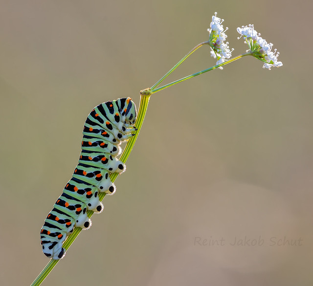 Koninginnepagerups - Swallowtailcaterpillar - Papilio machaon