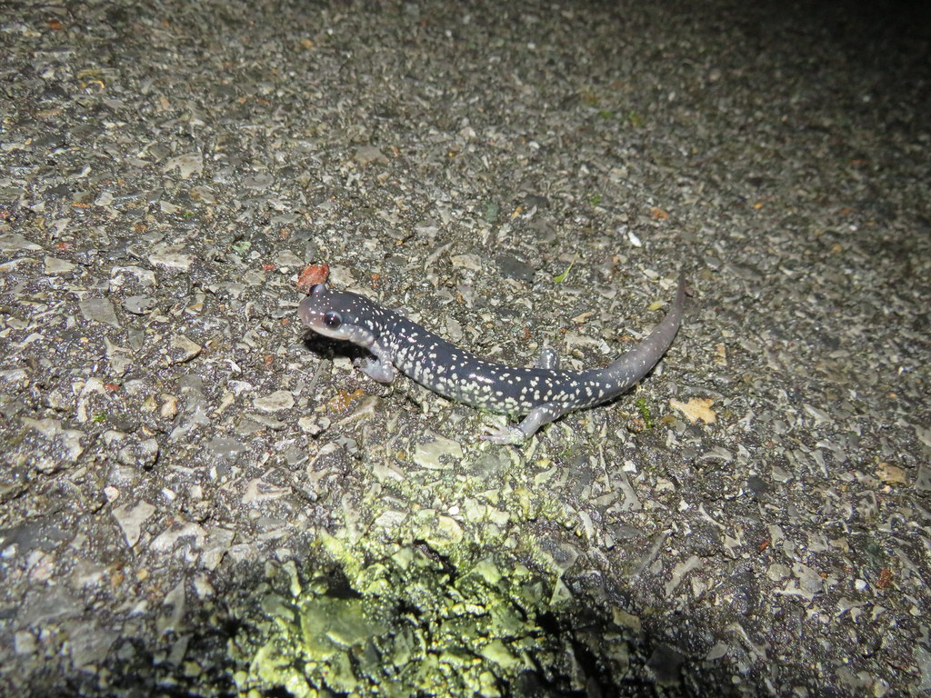 White-spotted Slimy on road