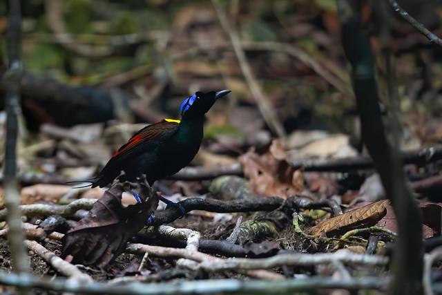 Wilson's Bird-of-paradise - Diphyllodes respublica