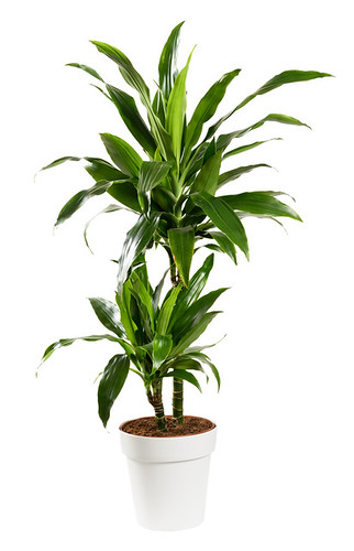 Potted Dracaena janet craig, Dragon plant or Water Stick Plant