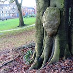 Lump on a tree at Winckley Square