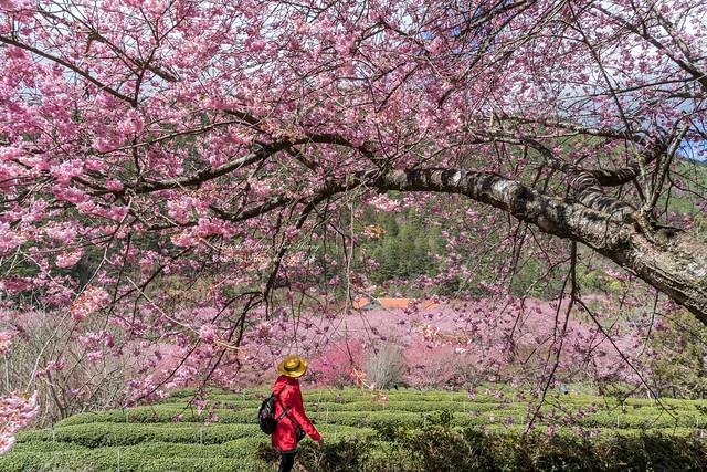武陵農場/紅粉佳人 Cherry Blossoms