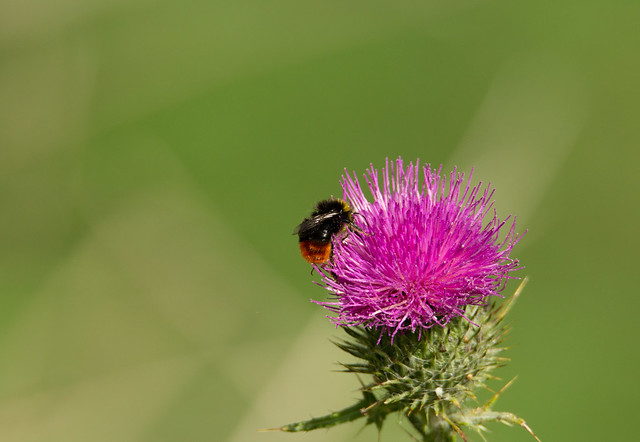 thistle and bee - Shobrooke park, Crediton, Devon