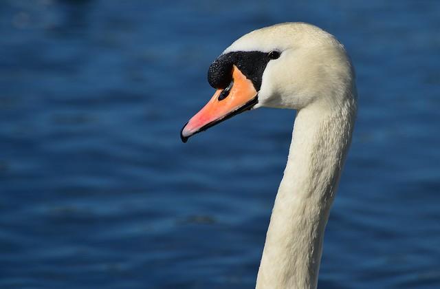 Munich - Mute Swan
