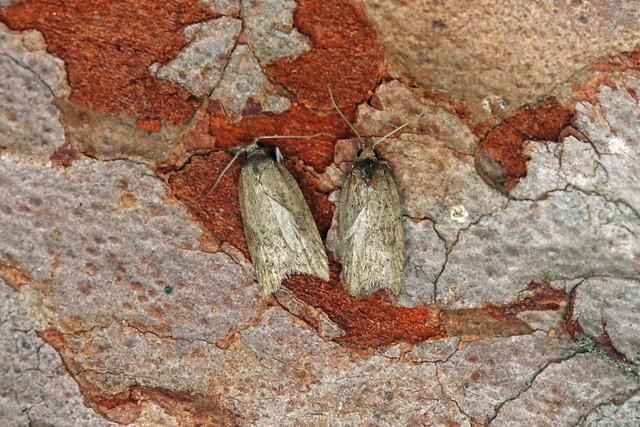 49.064 Acleris caledoniana, Vane Farm, Perthshire