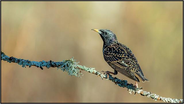Étourneau sansonnet / Common Starling