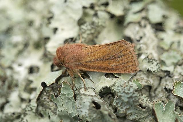 73.144 Small Wainscot (Denticucullus pygmina), Trinafour, Perthshire