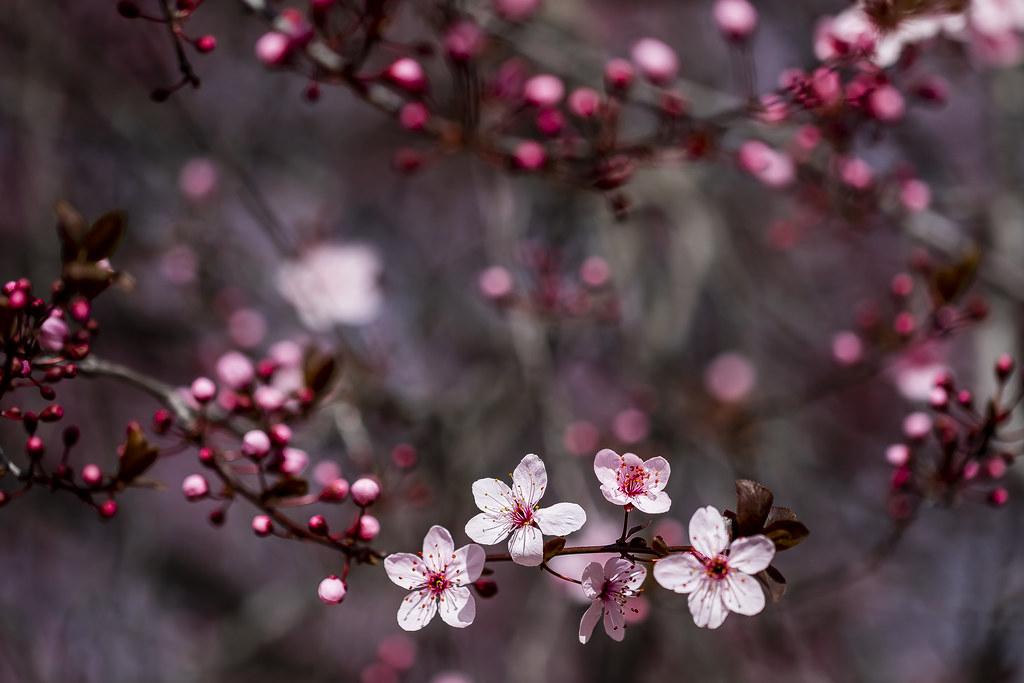 Cherry blossoms in Juan Carlos I Park, Madrid, Spain