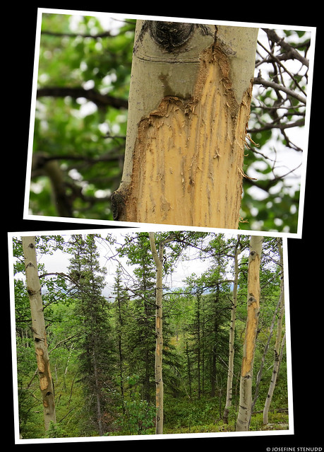 20180705_05 Gnawed trees by Rock Creek Trail in Denali National Park & Preserve, Alaska