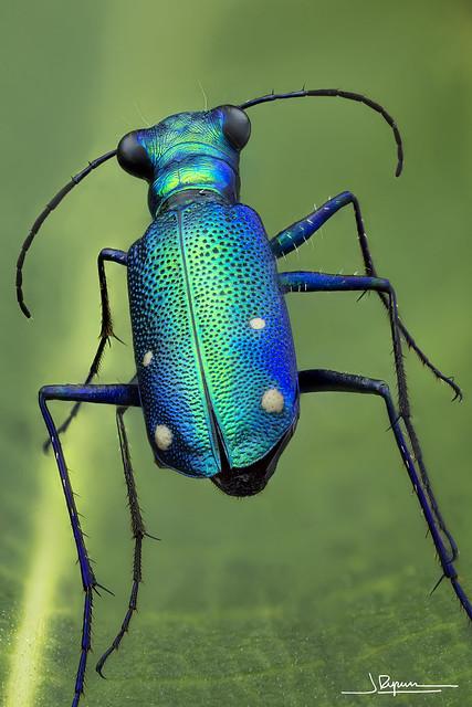 Prothyma quadriguttata (Java - Indonesia)