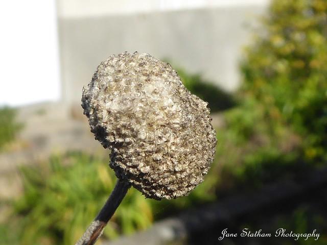 A Chinese anemone seed pod ~ Anemone hupehensis.