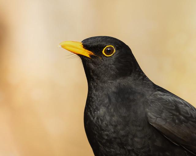 Mister Blackbird