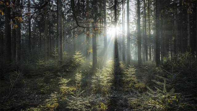 _DSC31440 Sunbeams in the forest