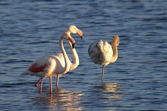 Flamingo, em família, Greater Flamingo, with juvenile