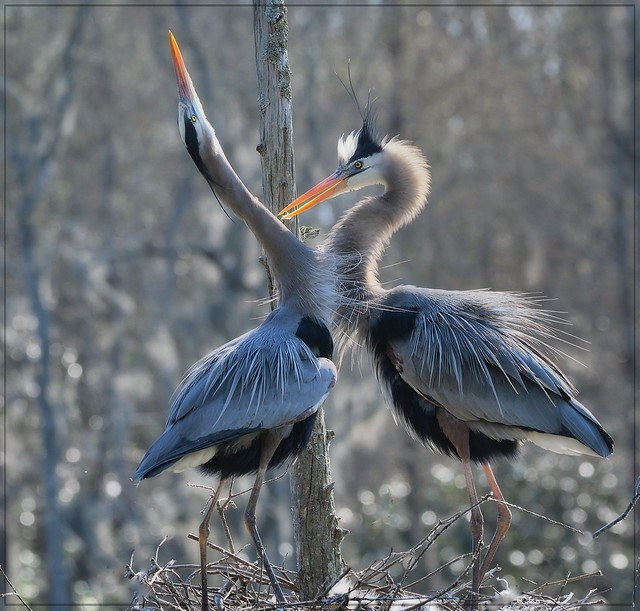 Great Blue Heron new family