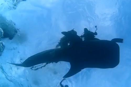 Captura del vídeo en el que se observa a los buceadores liberando al tiburón ballena del saco