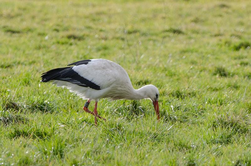 Weißstorch in Körbecke