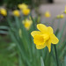 I needed a daffodil picture …I needed a daffodil picture …Thu 25 Feb 21: I know I've had one...