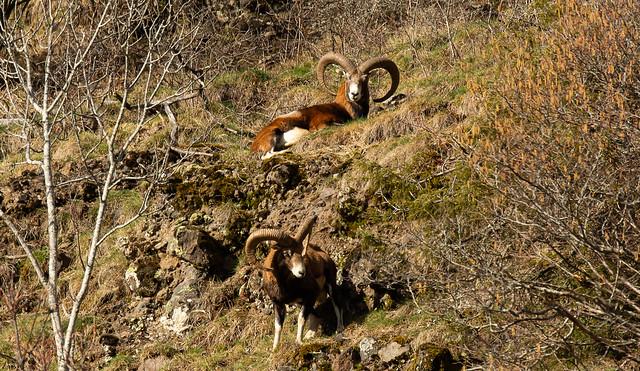 Le mouflon qui domine sa vallée !