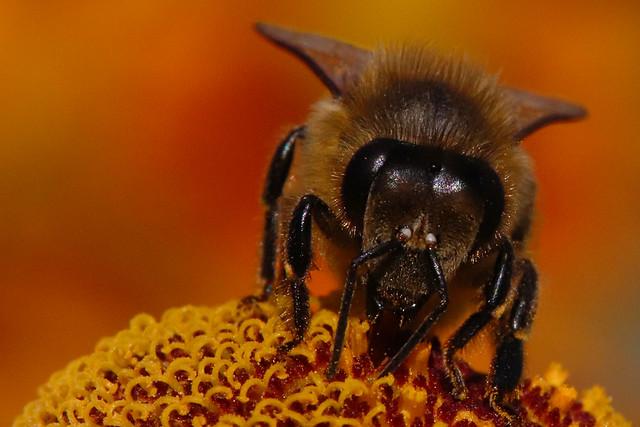 bee on a blossom / Biene auf einer Blüte